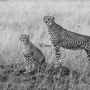 Cheetah and her cub - Kesavamurthy Photography